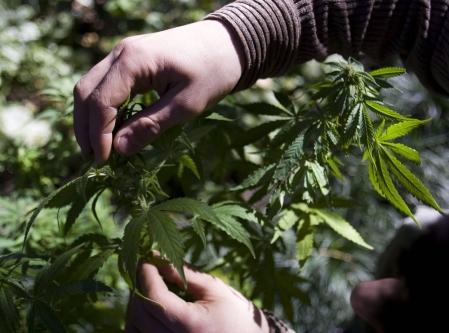 Les biologistes ont identifié le mécanisme qui différencie le cannabis, la drogue, des variétés de chanvre.<br />